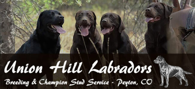 Union Hill Labradors