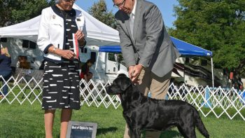 Permalink to: GCH Everso's Little Sure Shot at Union Hill JH WC, aka Annie